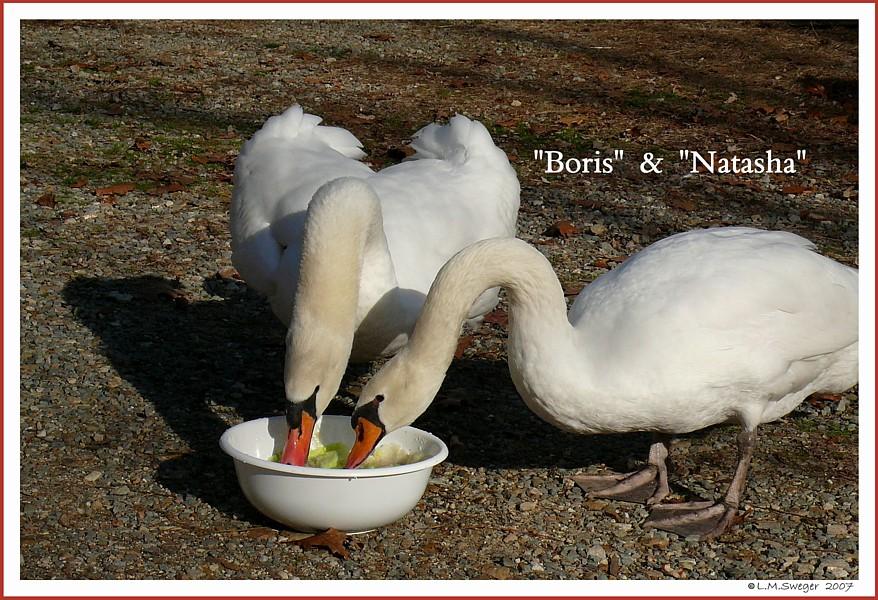 Swans Boris Natasha