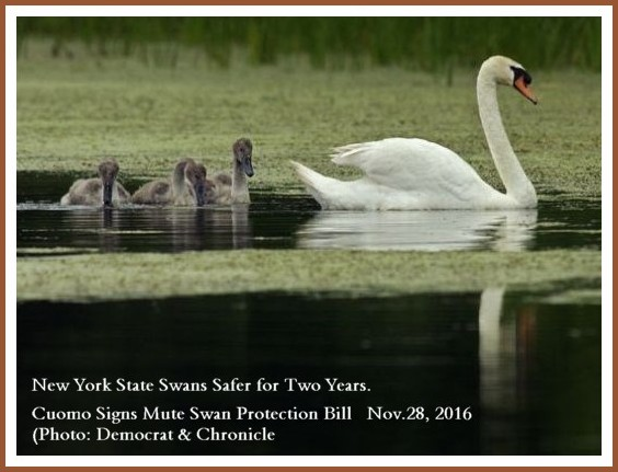 Stop Killing New York Mute Swans