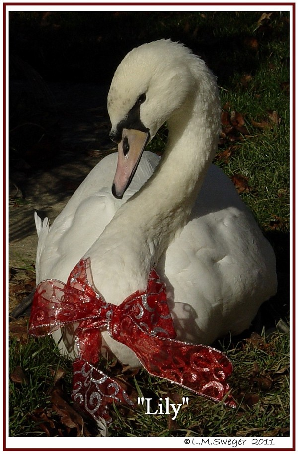 Royal Mute Swan Lily