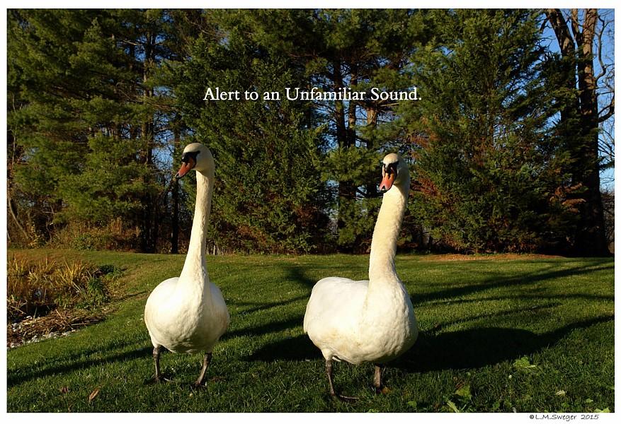 Swans on Alert