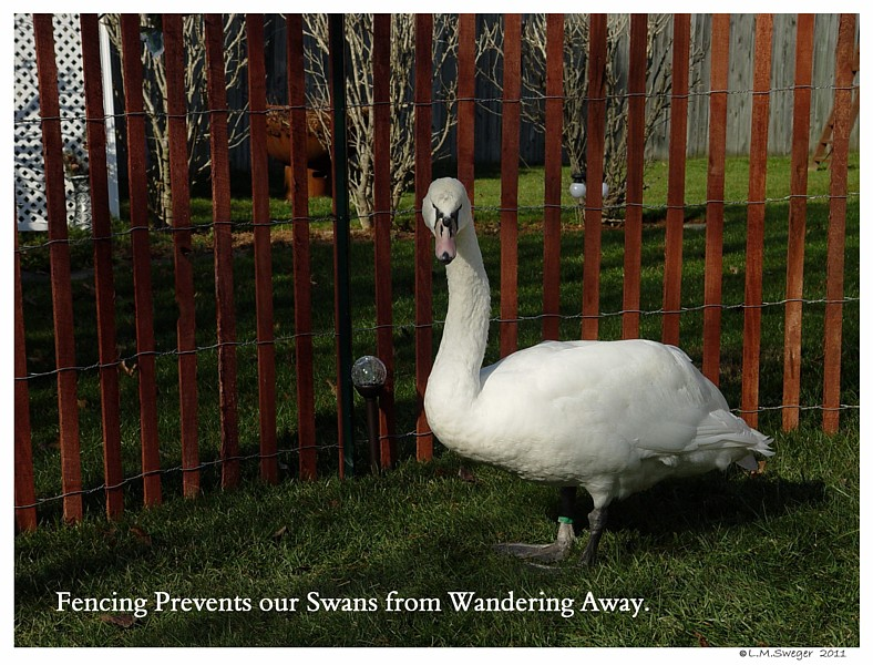 Mute Swan Fence
