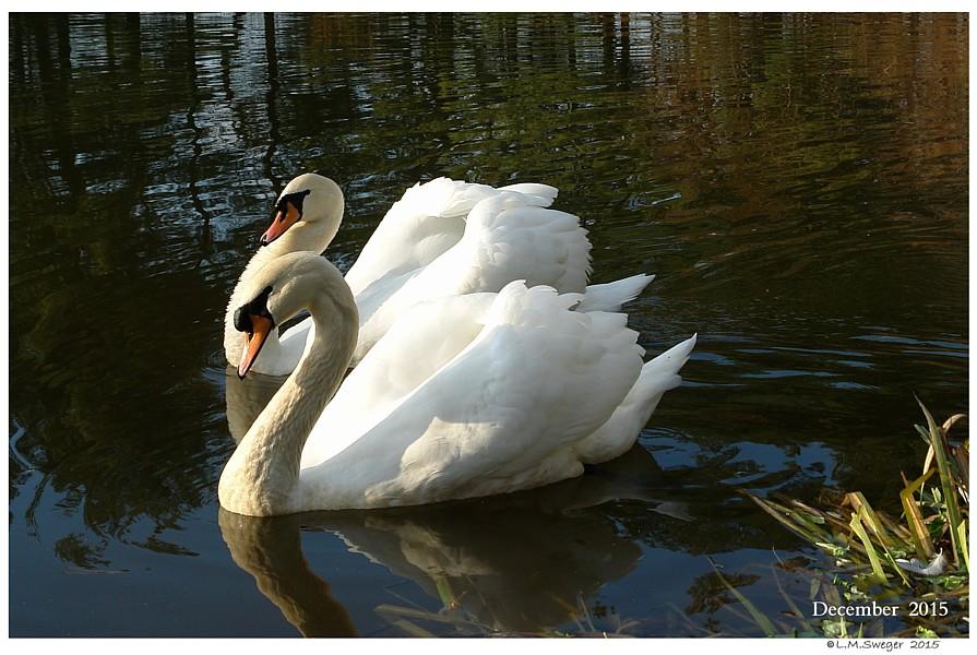 Mute Swan Juveniles