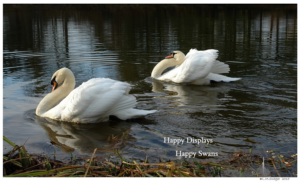 Happy Male Swans