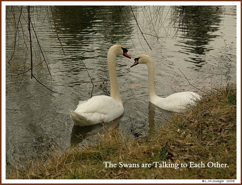 Swans Talking together