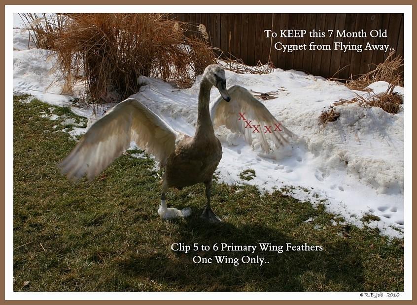 Clipping Mute Swan Cygnet