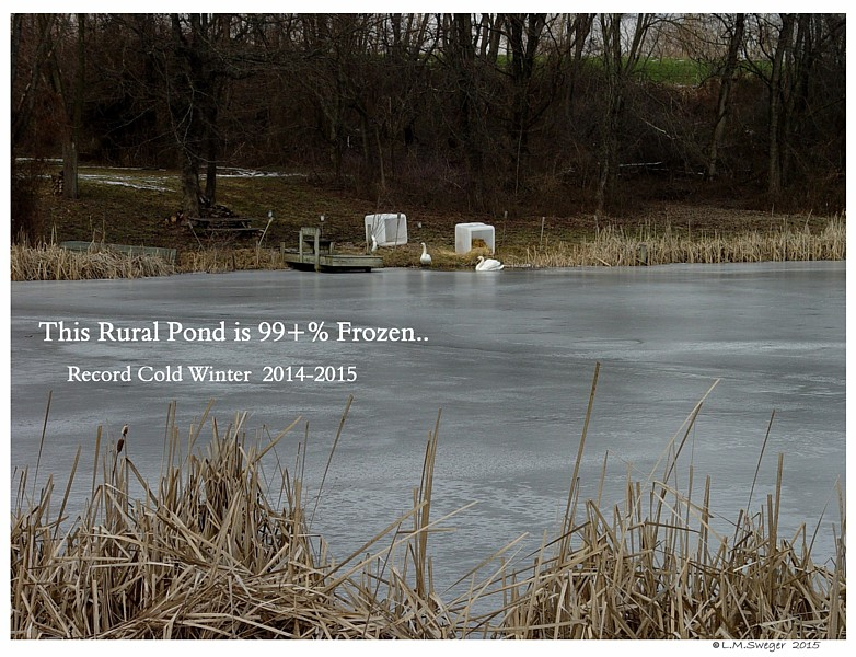 Swans Frozen Pond