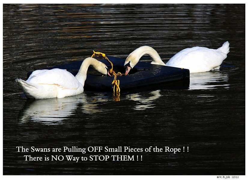 Swans Chewing Ropes