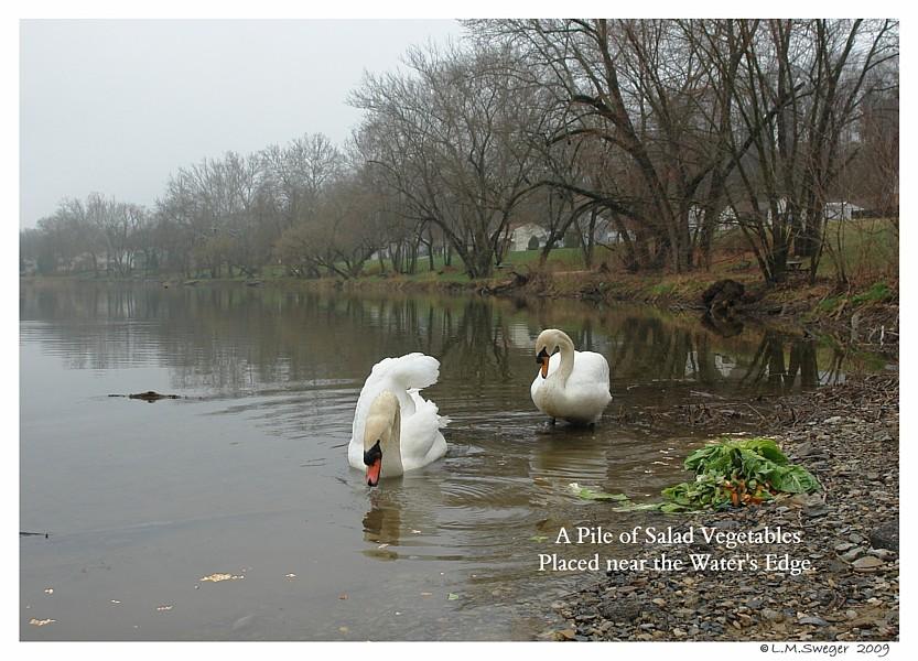 Feeding Swans in Winter