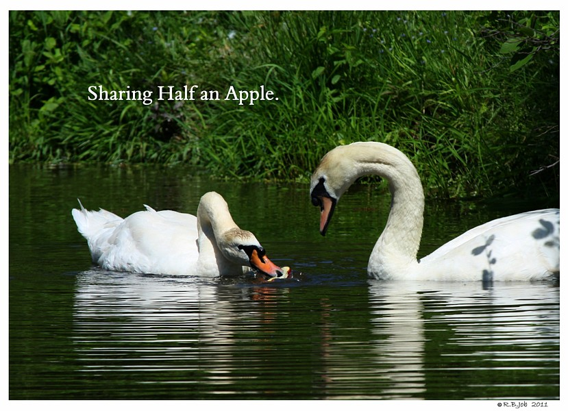 Swans Apples