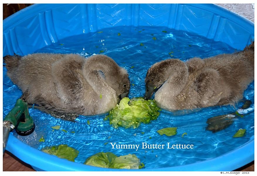 Swan Cygnets Lettuce