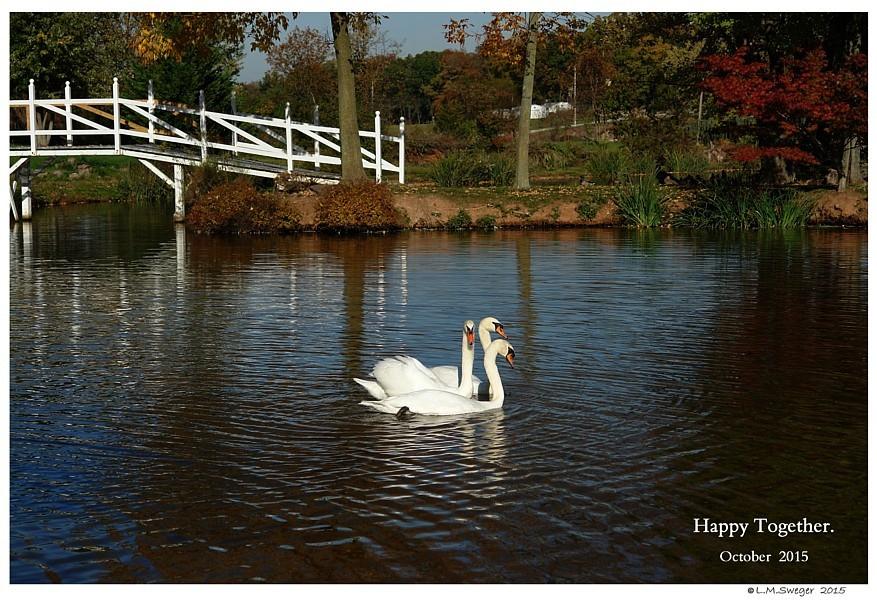 Swans Lovely Pond