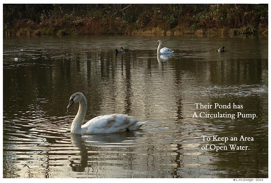 Cygnets Winter Pond