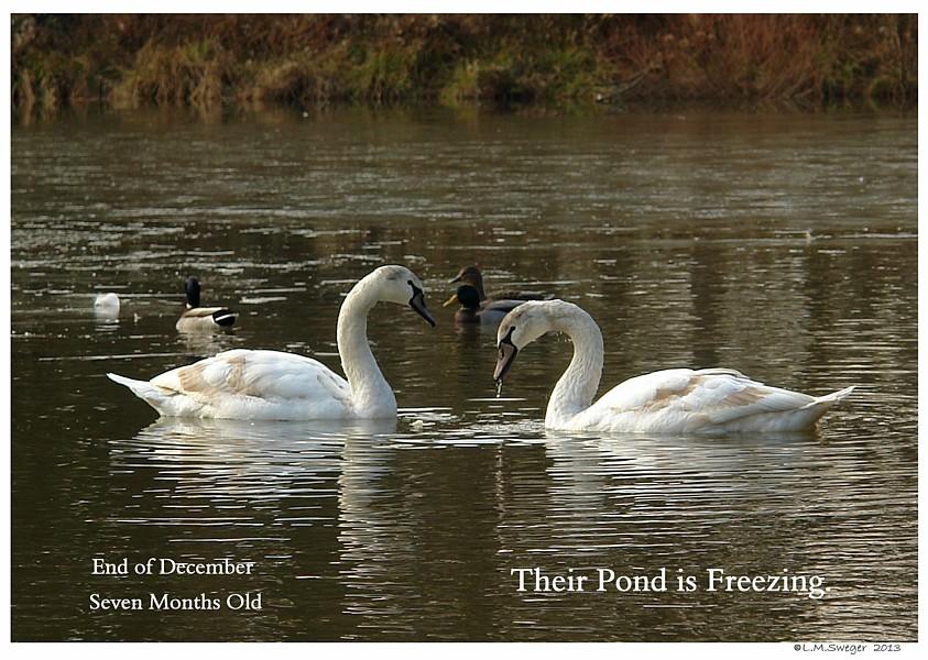 Swan Pond Ice