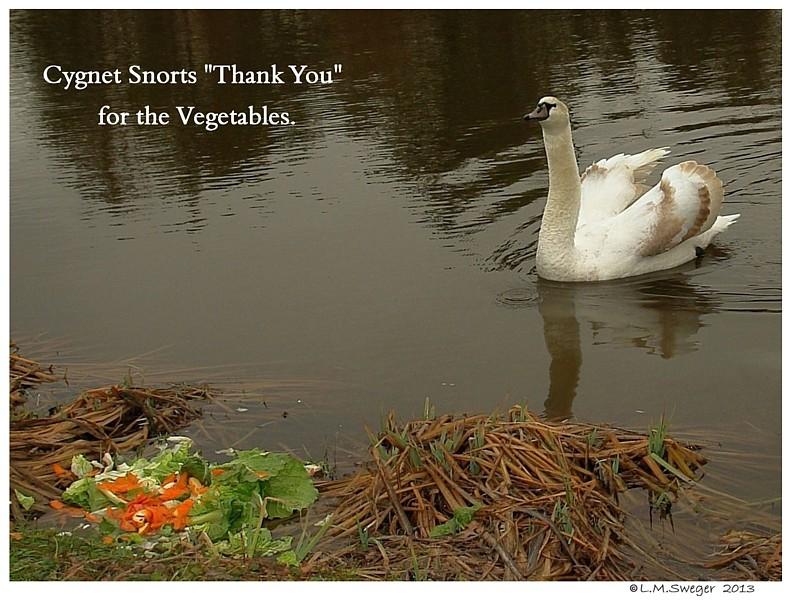 Swan Cygnet Vegetables