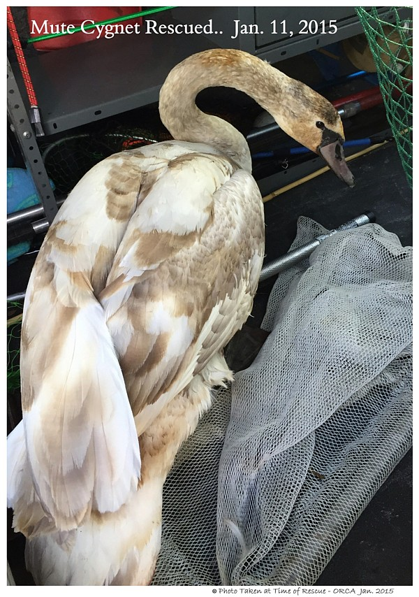 Rescued Mute Swan Cygnet
