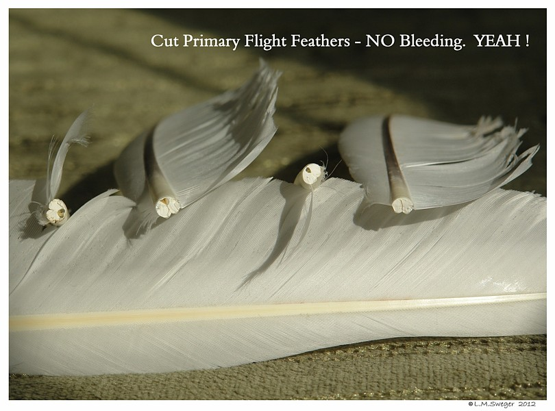 Clipped Wing Feathers