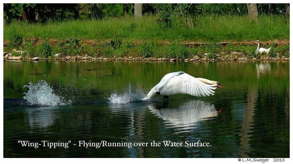 Mute Swan Wing-Tipping