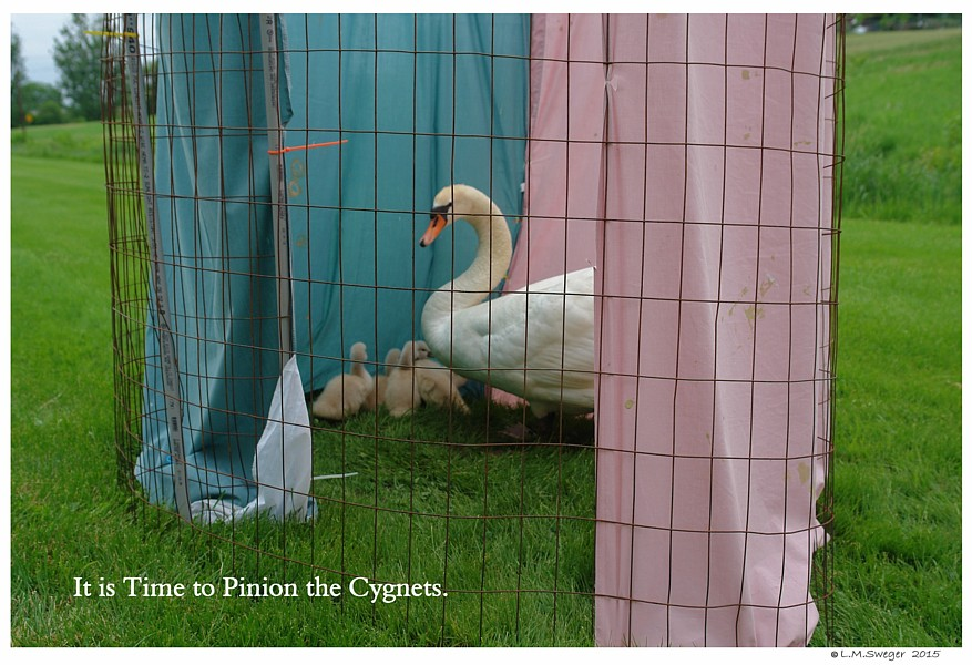 Time to Pinion Cygnets