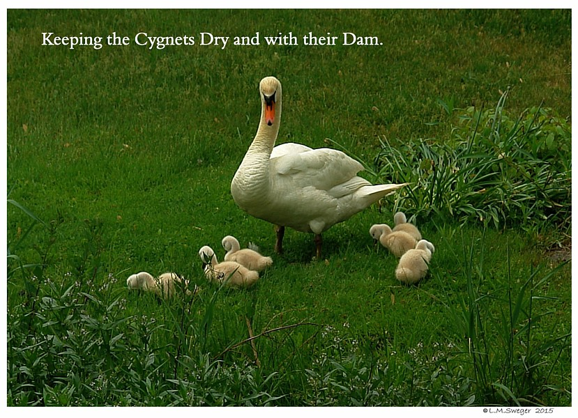 Keep Swans Safe and Dry