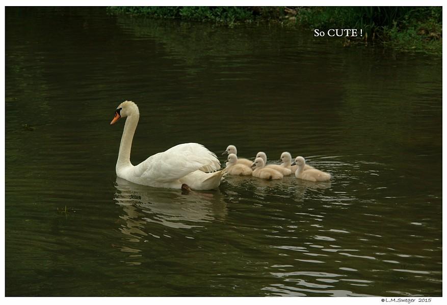 Swan Cygnets Days Old