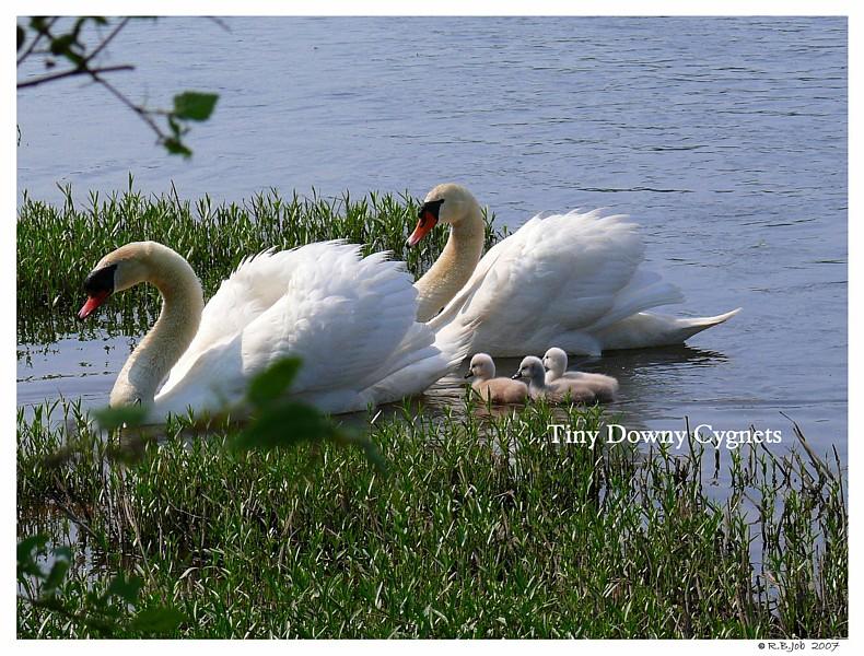 Mute Swans Cygnets