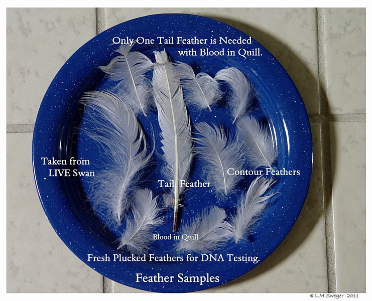 Fresh Pulled Swan Feathers