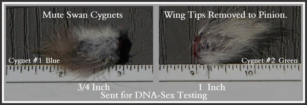 Pinioned Wing Tips for DNA