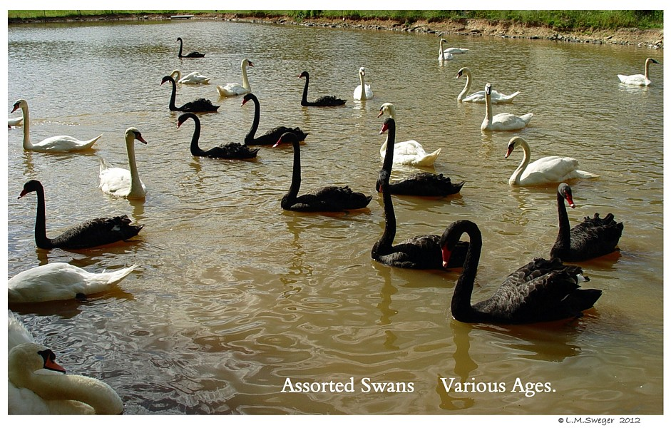 Assorted Swans