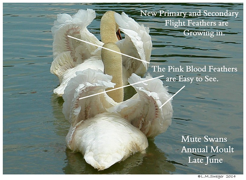 Mute Swan Blood Feathers