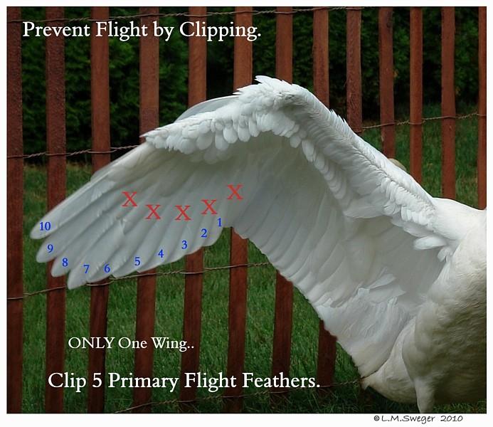Underside Swan Wing