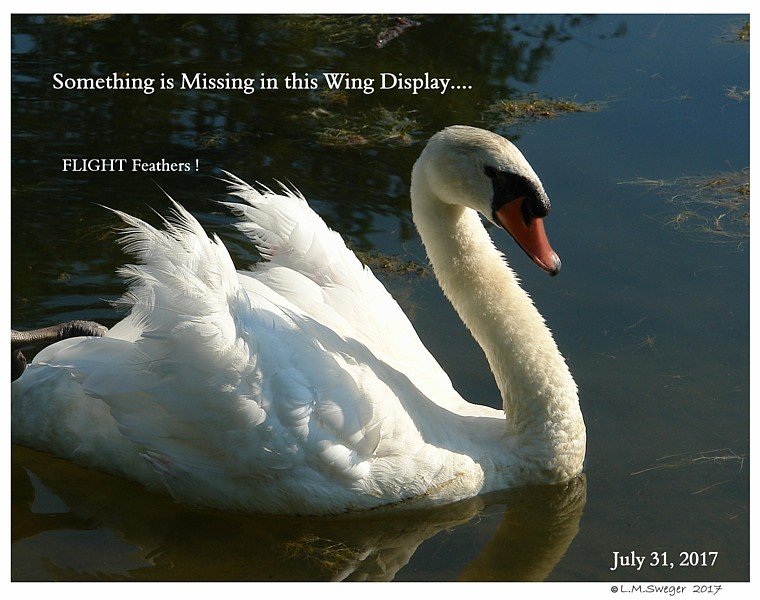 Mute Swan Moulting