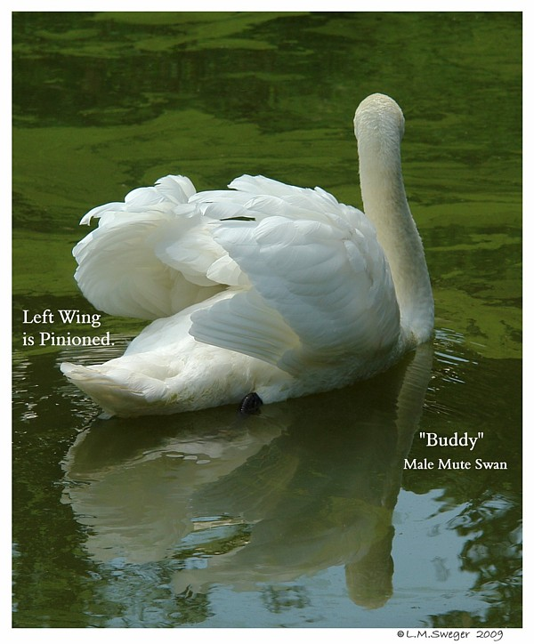 Pinioned Male Mute Swan