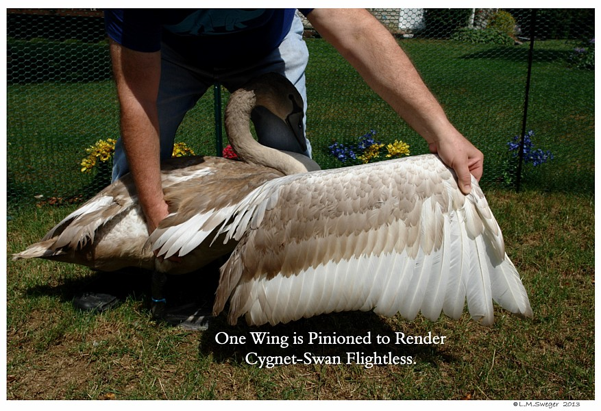 Swan Cygnet Wing Pinion