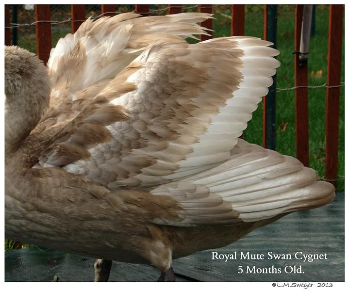 Mute Swan Cygnet 5 Months Old