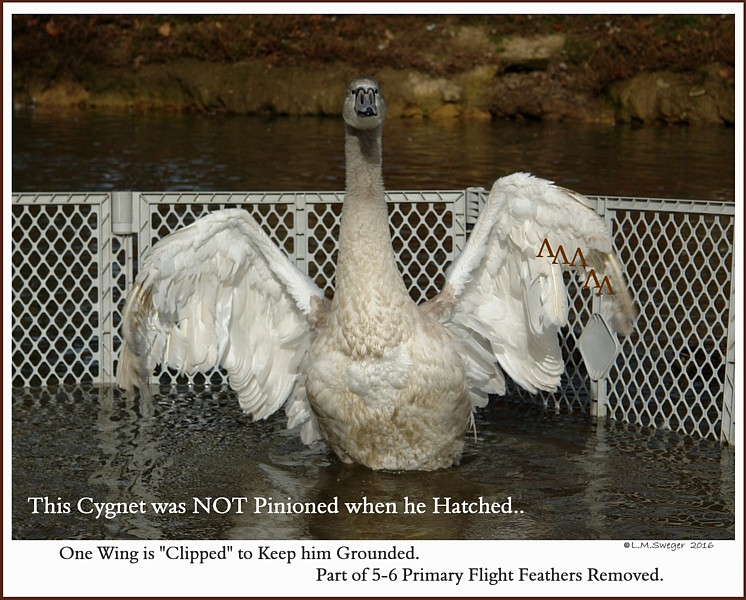 Clip Mute Swan Cygnet