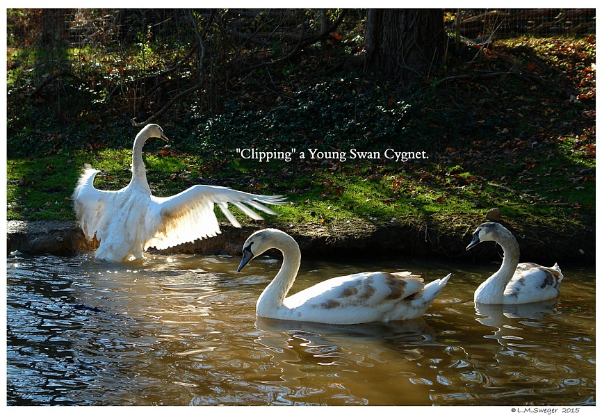 Clipping Swan Cygnets