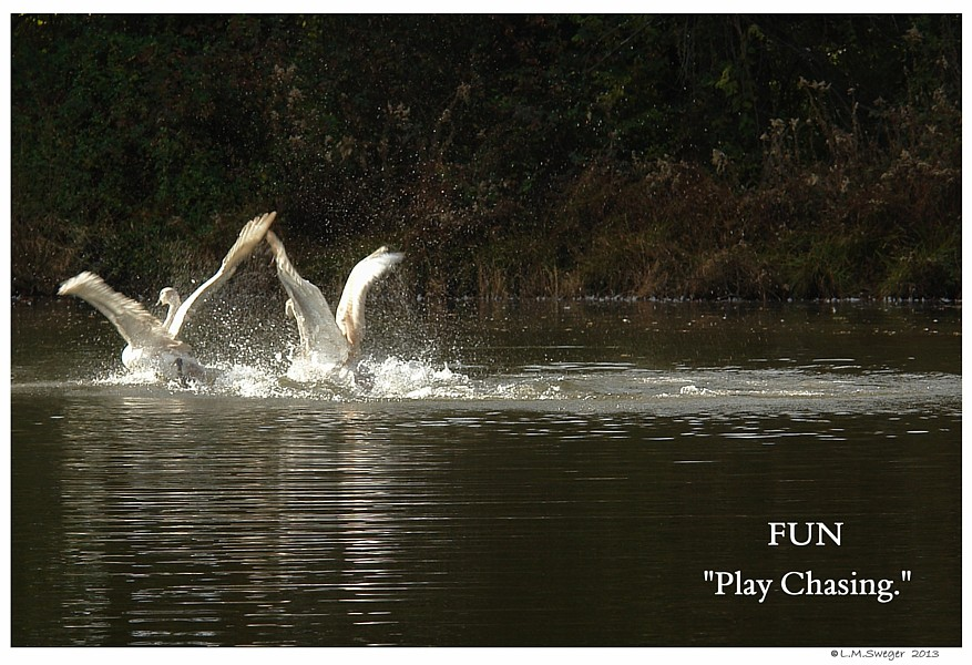 Mute Cygnets Play Chasing