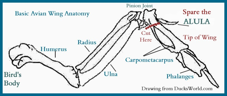 AVIAN WING Bones Pinion Joint