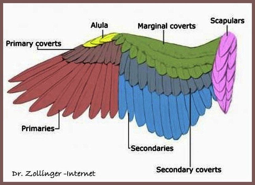Bird Wing Feathers Anatomy