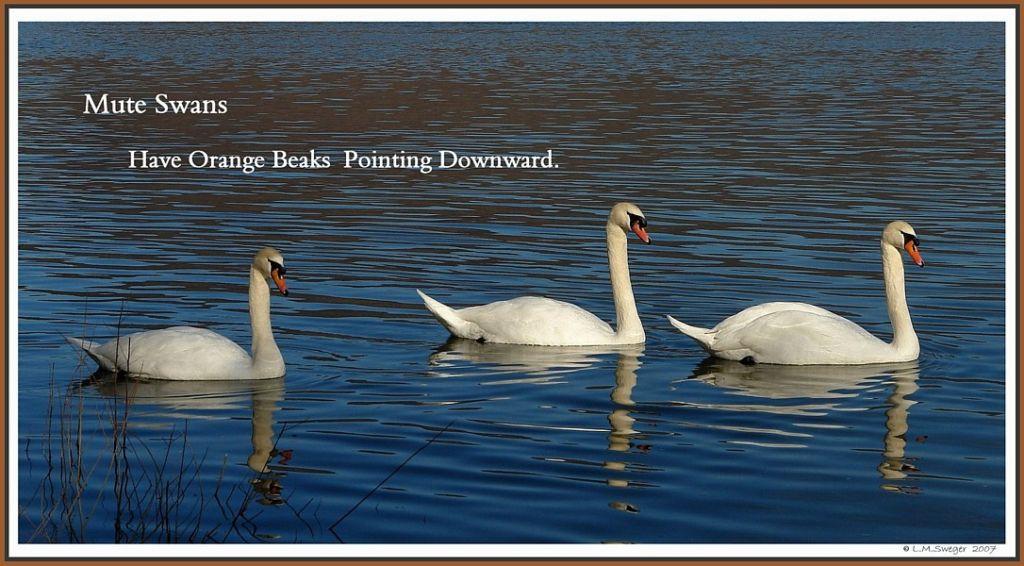 Mute Swan Info