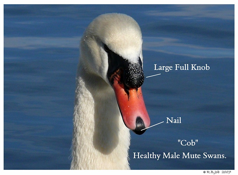 Mute Swan Cob Beak