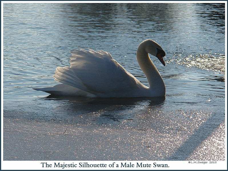 how can you tell the gender of a swan? | Yahoo Answers