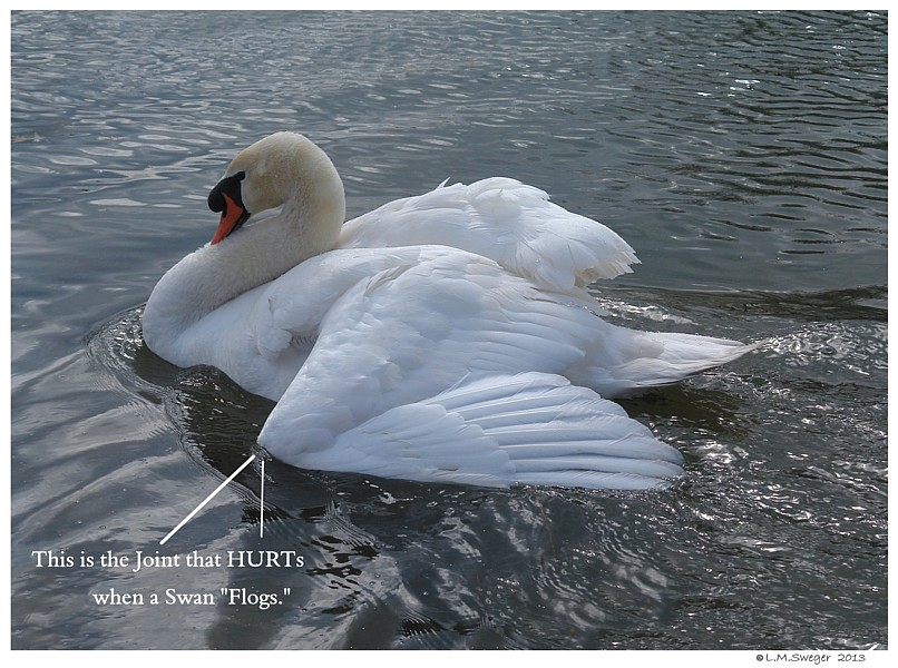 How Do You Tell A Male Swan From A Female Swan? - Blurtit