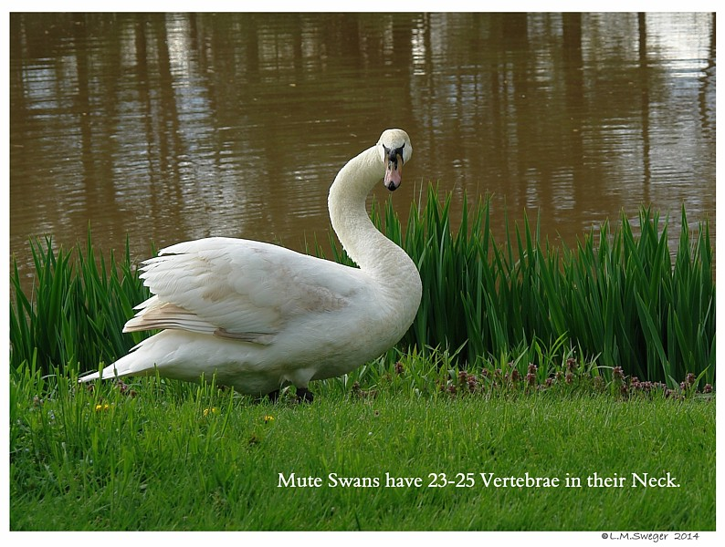 Mute Swan Neck