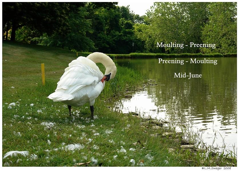 Mute Swans Moult