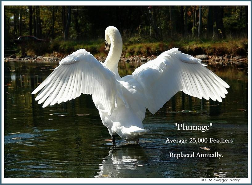 Mute Swan Plumage