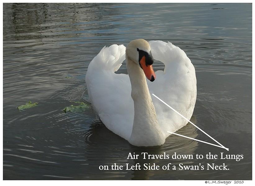 SWAN Trachea-Air