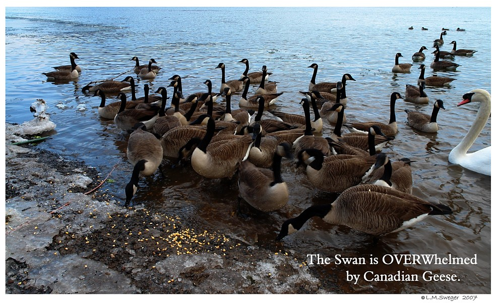 Swan Canada Geese