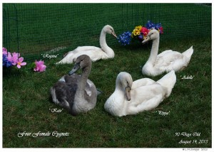 081413L 56WW Four Female Cygnets (17BD4 600)3DTXT