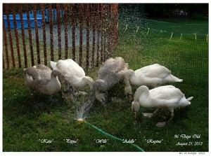 082113L 56WW Five Cygnets (45BD4 600)5BTXT